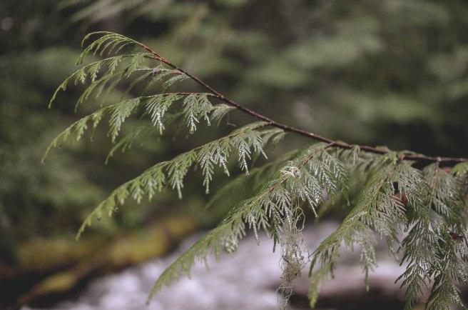 Seattle-2016-Crystal-Mountain-tree-limb